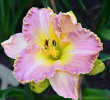 Daylily Series - No. 2 by Carol Clifford