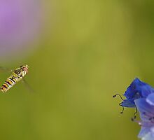 Hovering Hoverfly by relayer51