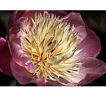 Spring Peony,  Photographic Print