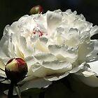 White Peony by AnnDixon
