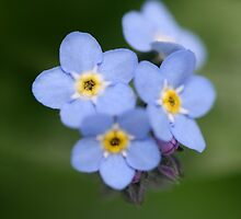 Little blue forget me not by Melani
