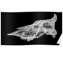 X-ray of a skull of a cow on black background  Poster