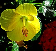Yellow Hibiscus by GalleryThree