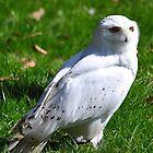 Snowy Owl by Declan Carr