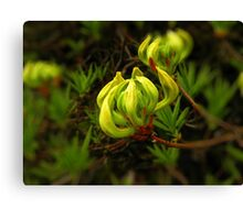 Opening bloom Canvas Print