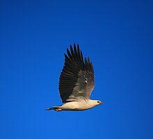 white-bellied sea eagle. bicheno, tasmania by tim buckley | bodhiimages