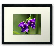 Virginia Spiderwort - Tradescantia virginiana Framed Print