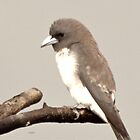 LITTLE WOOD SWALLOW by NICK COBURN PHILLIPS