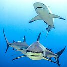 Caribbean Reef Sharks by Robbie Labanowski