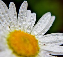 Wet 'n Wild Daisy by Kathleen M. Daley