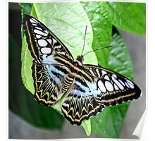 Blue Tiger Butterfly Poster