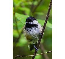 Chickadee Photographic Print