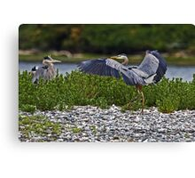 Great Blue Heron Greeting Canvas Print