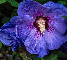 Rose of Sharon by © Kira Bodensted