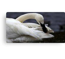 Trumpeter Swan Canvas Print