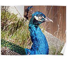 peacock siesta time Poster