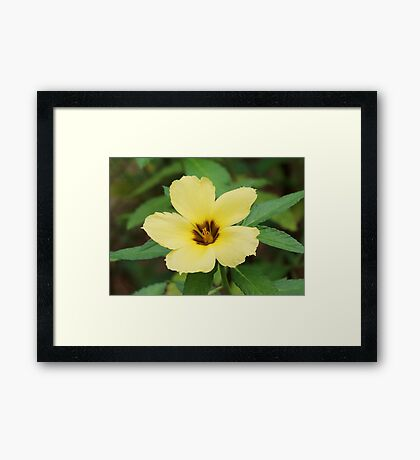 Yellow turnera flower, of the passionflower family Framed Print