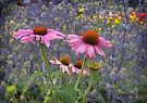 Cone flowers by © Kira Bodensted