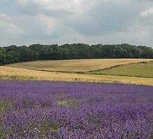 A field of lavender in the Sussex countryside by Judi Lion