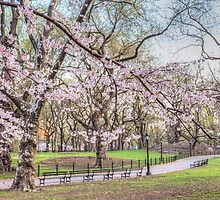 Cherry blooming in Central Park by nadiamorris