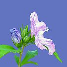 Rose of Sharon by Susan S. Kline