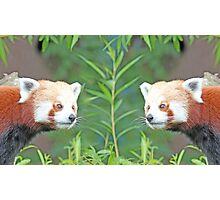 Symmetry Red Pandas Photographic Print