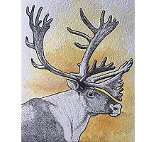 Caribou Photographic Print