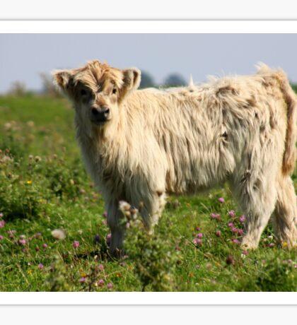 Scottish Highland Calf Sticker