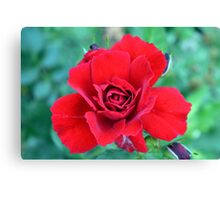 Red rose on a green background. Canvas Print