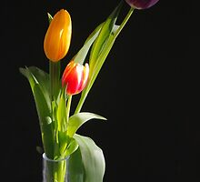 Tulips by KellyCompton