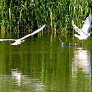"""""""Start 2"""" , Black-headed gull ( Chroicocephalus ridibundus ) Mewa śmieszka by MarekM"""