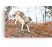 Wolf roaming Canvas Print