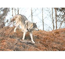 Wolf roaming Photographic Print