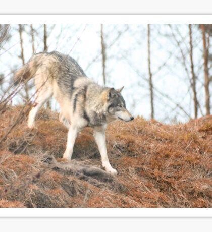 Wolf roaming Sticker