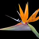 Bird of Paradise by giovonni808