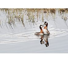 Red-necked grebes out loud Photographic Print