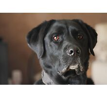 Male Labrador Dog Photographic Print