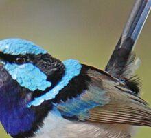 Blue Wren 2 Sticker