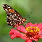 Butterfly on Zinnia by Janice Carter