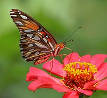 Butterfly on Zinnia by Janice Carter