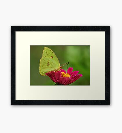 Yellow Butterfly on Pink Zinnia Framed Print