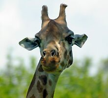 Quirky giraffe looking at you by Clayton Suares