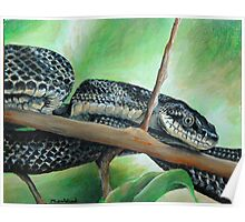 Friendly Black Rat Snake Poster