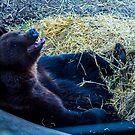 Brown Bear - Skansen - Sweden by Paul Davis