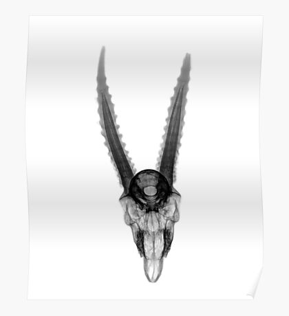 Top view X-ray of a skull of a gazelle on white background  Poster