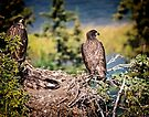 Bald Eagle Chicks by Yukondick