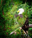 Adult Bald Eagle by Yukondick