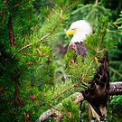 Adult Bald Eagle by Yukondick