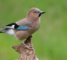 Eurasian Jay by M.S. Photography/Art