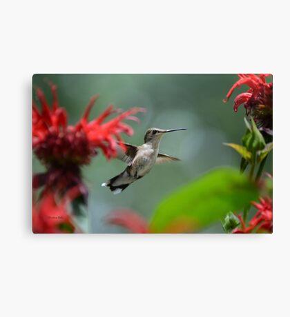 Hummingbird Flying Canvas Print